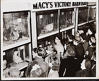0163788 © Granger - Historical Picture ArchiveMACY'S SELLING CHICKENS.   New York, 1944. View of a crowd gathered around chickens in cages at Macy's. The sign above the cages reads: 'Macy's Victory Barnyard.'
