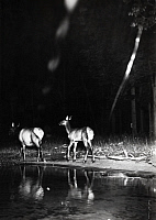 0245888 © Granger - Historical Picture ArchiveLAKE SUPERIOR, MICHIGAN, USA.   Elk walk on Lake Superior's shoreline at night. George Shiras.