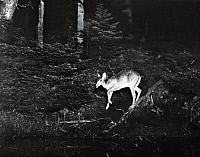 0245897 © Granger - Historical Picture ArchiveHOWE'S LAKE, MICHIGAN, USA.   A white tailed deer doe approaches Howe's Lake shoreline. George Shiras.