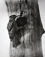 0245903 © Granger - Historical Picture ArchiveREVEL ISLAND, VIRGINIA, USA.   A flicker woodpecker perched on a nesting hole in a tree. George Shiras.
