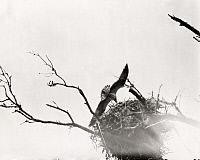 0245909 © Granger - Historical Picture ArchiveREVEL ISLAND, VIRGINIA, USA.   An osprey flies low over a nest. George Shiras.