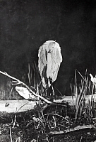 0245940 © Granger - Historical Picture ArchiveWHITEFISH LAKE, MICHIGAN, USA.   The first flashlight picture of a sleeping great blue heron. George Shiras.