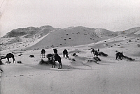 0246110 © Granger - Historical Picture ArchiveSAHARA DESERT.   Camels forage near small tufts of grass in sand dunes. David G. Fairchild.