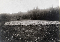 0246427 © Granger - Historical Picture ArchiveUINTA NATIONAL FOREST, UTAH.   Sheep graze on recovered grass after area was burnt and cut-over. U. S. Forest Service.