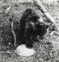 0246601 © Granger - Historical Picture ArchivePORT MOLLER, ALASKA, NORTH AMERICA.   An orphaned bear cub, Fritzi, paws at a down turned dinner bowl. George Mixter Ii.