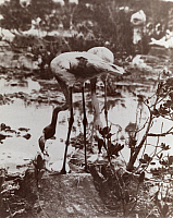 0246653 © Granger - Historical Picture ArchiveBAHAMAS, WEST INDIES.   Flamingos feed their young whose beaks have yet present curvature. D. Appleton And Co..