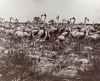 0246654 © Granger - Historical Picture ArchiveBAHAMAS, WEST INDIES.   Flamingos stand guard over their nests, each containing only one egg. D. Appleton And Co..