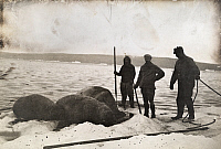 0246837 © Granger - Historical Picture ArchiveARCTIC CIRCLE.   Arctic hunters and Eskimos stand near three walrus carcasses. Underwood And Underwood.