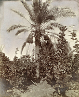 0246927 © Granger - Historical Picture ArchiveARABIA.   A date palm tree with ripened fruit grows in an oasis. Archibald Forder.