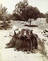 0246933 © Granger - Historical Picture ArchiveARABIA.   Water filled animal skins lean against a stone wall in a garden. Archibald Forder.
