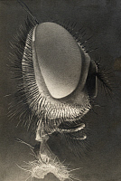 0247166 © Granger - Historical Picture ArchiveUSA.   A closeup side view of the head of a house fly. N.A. Cobb.