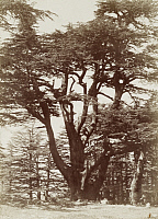 0247493 © Granger - Historical Picture ArchiveNEAR DAMASCUS, SYRIA.   A large specimen of a Lebanon cedar tree of the Besharry group. Archibald Forder.