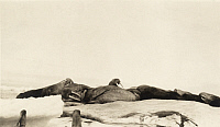 0247584 © Granger - Historical Picture ArchiveBERING SEA.   Pacific walrus sleep on an ice floe. Dobbs.
