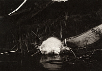 0247693 © Granger - Historical Picture ArchiveWHITEFISH LAKE, MINNESOTA, USA.   A blind and deaf albino porcupine eats moss near the lake's surface. George Shiras.