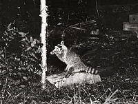 0247704 © Granger - Historical Picture ArchiveWHITEFISH LAKE, MINNESOTA, USA.   A raccoon triggers a flash while eating cheese attached to a tree. George Shiras.
