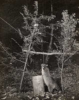0247706 © Granger - Historical Picture ArchiveWHITEFISH LAKE, MINNESOTA, USA.   A raccoon stands full height to pull bait hanging from a string. George Shiras.