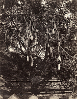 0247770 © Granger - Historical Picture ArchiveCEYLON.   A sausage tree in Ceylon displays fruit and blooms that hang down. Eliza R. Scidmore.