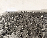 0247946 © Granger - Historical Picture ArchiveGILROY, CALIFORNIA, USA.   Laborers on a seed farm strip rows of lettuce of dead leaves. J.O. Tucker.