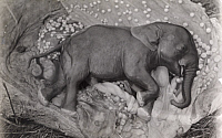 0248131 © Granger - Historical Picture ArchiveAFRICA.   An eight month old elephant fetus. Carl E. Akeley.