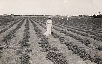 0248280 © Granger - Historical Picture ArchiveGALVESTON-HOUSTON DISTRICT, TEXAS, USA.   A woman gathers strawberries from a crop field in February. Joint Texas Immigration Bureau.