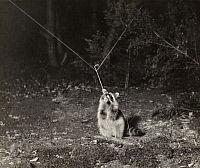 0248385 © Granger - Historical Picture ArchiveWHITEFISH LAKE, MINNESOTA, USA.   A raccoon in the forest pulls on a line which ignites a flash. George Shiras.
