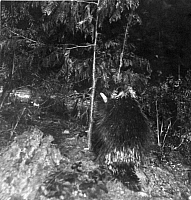 0249838 © Granger - Historical Picture ArchiveMICHIGAN, USA.   A porcupine is baited to trigger a camera flash at night. George Shiras.