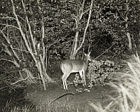 0249849 © Granger - Historical Picture ArchiveMICHIGAN, USA.   A white-tailed doe triggers a camera to take a picture at night. George Shiras.