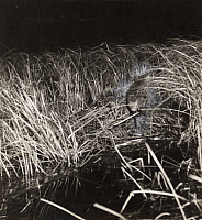 0249854 © Granger - Historical Picture ArchiveMICHIGAN, USA.   A muskrat triggers a camera when building a winter home in a marsh. George Shiras.