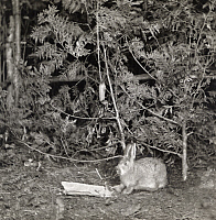 0249859 © Granger - Historical Picture ArchiveMICHIGAN, USA.   A rabbit eats through a carrot, triggering a camera to flash. George Shiras.
