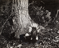 0249864 © Granger - Historical Picture ArchiveMICHIGAN, USA.   A common striped skunk spreads its tail in defense to a camera flash. George Shiras.