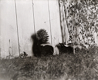 0249866 © Granger - Historical Picture ArchiveMICHIGAN, USA.   A pair of skunks trigger a camera outside the edge of a dark room. George Shiras.