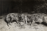 0249879 © Granger - Historical Picture ArchiveST. VINCENT ISLAND, FLORIDA, USA.   Two wild boars trigger a camera to flash by pulling a baited string. George Shiras.