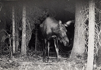 0249889 © Granger - Historical Picture ArchiveUPPER YELLOWSTONE VALLEY, MONTANA, USA.   A cow moose triggers a camera to flash in Upper Yellowstone Valley. George Shiras.