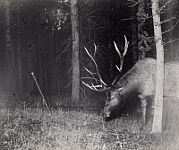 0249894 © Granger - Historical Picture ArchiveYELLOWSTONE LAKE, YELLOWSTONE NATIONAL PARK, WYOMING, USA.   A bull elk catches a camera string in his antlers, triggering a flash. George Shiras.
