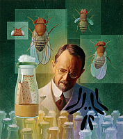 0250472 © Granger - Historical Picture ArchiveARTWORK.   Thomas Hunt Morgan, geneticist, studied the fruit fly. Ned M. Seidler.