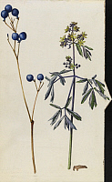0250627 © Granger - Historical Picture ArchiveARTWORK.   A sprig of blue cohosh plant berries and blossoms. Mary E. Eaton.