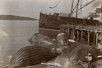 0250742 © Granger - Historical Picture ArchiveSECHAR, VANCOUVER ISLAND, BRITISH COLUMBIA, CANADA.   Humpback whales await flensing at a whaling station. Arthur W. Mccurdy.