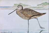 0250845 © Granger - Historical Picture ArchiveARTWORK.   A painting of a marbled godwit, Limosa fedoa. Louis Agassiz Fuertes.