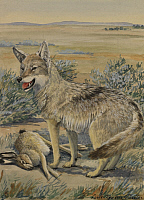 0250866 © Granger - Historical Picture ArchiveARTWORK.   A plains coyote, also known as a prairie wolf, beside a dead hare. Louis Agassiz Fuertes.