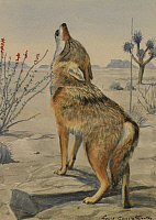 0250867 © Granger - Historical Picture ArchiveARTWORK.   A painting of a howling Arizona, or Mearns, coyote. Louis Agassiz Fuertes.