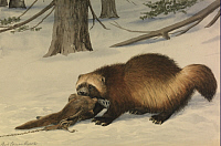 0250868 © Granger - Historical Picture ArchiveARTWORK.   A painting of a wolverine dragging away an animal killed by a snare. Louis Agassiz Fuertes.
