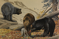 0250870 © Granger - Historical Picture ArchiveARTWORK.   Painting of a glacier, cinnamon and black bear (left to right). Louis Agassiz Fuertes.