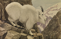 0250874 © Granger - Historical Picture ArchiveARTWORK.   A painting of a Rocky Mountain goat standing on a rocky cliff ledge. Louis Agassiz Fuertes.