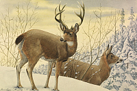 0250876 © Granger - Historical Picture ArchiveARTWORK.   A painting of two black-tailed deer standing in the snow. Louis Agassiz Fuertes.