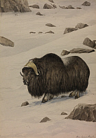 0250879 © Granger - Historical Picture ArchiveARTWORK.   A painting of a musk-ox standing in the snow. Louis Agassiz Fuertes.