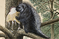 0250920 © Granger - Historical Picture ArchiveARTWORK.   A porcupine stands on tree branches. Louis Agassiz Fuertes.