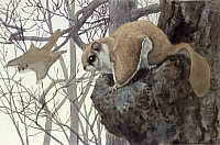 0250923 © Granger - Historical Picture ArchiveARTWORK.   A flying squirrel rests in a tree as another glides through the air. Louis Agassiz Fuertes.