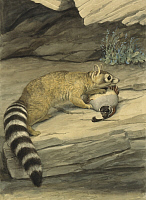 0250925 © Granger - Historical Picture ArchiveARTWORK.   A ring-tailed cat stands with paw on it's prey, a quail. Louis Agassiz Fuertes.