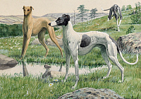 0250990 © Granger - Historical Picture ArchiveARTWORK.   Three greyhounds run through the prairie. Louis Agassiz Fuertes.