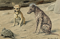 0250995 © Granger - Historical Picture ArchiveARTWORK.   A turtle passes by a Chihuahua and a Mexican Hairless. Louis Agassiz Fuertes.